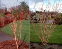 'Pacific Fire' Vine maple in a more cultivated setting.  The orange-red bark would contrast nicely with the mosses.