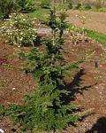 'Iron Springs' is a naturally-occurring mutation of Western Hemlock. It starts out as an irregular mound and grows very slowly into a semi-contorted form. It is the plante juste!